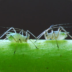 articles-pests-diseases-aphids_text_3.jp