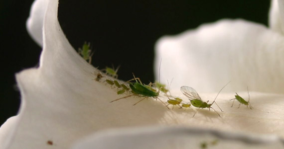 articles-pests-diseases-aphids_text_5.jp